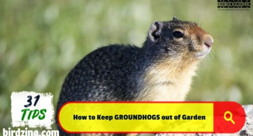 how to keep groundhogs out of garden