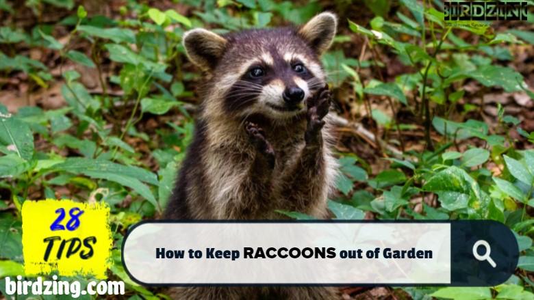 how to deter raccoons from garden